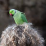 parakeet on womans head 4831152 1920
